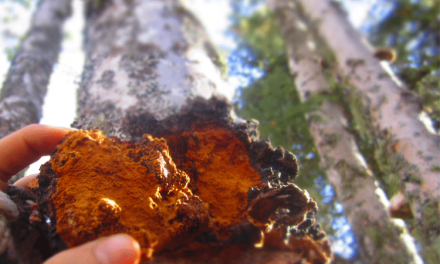 Chaga – Can it be sustainably harvested?